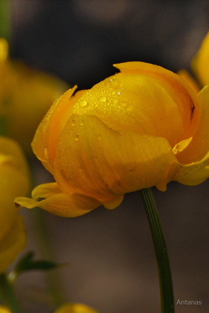 Yellow in spring time (macro) by Antanas