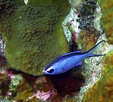 Blue Chromis Above Hard Coral by SerenaB