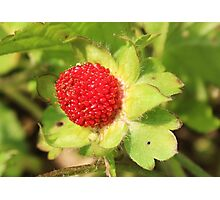 wild strawberry growing in our yard Photographic Print