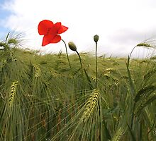 Summer Barley and Red Beauty by Laksen