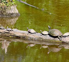 Turtles Sun Log By Jonathan Green by Jonathan  Green