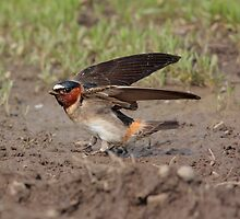 Cliff Swallow by BCkat