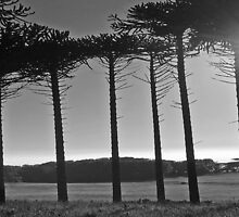 Monkey Puzzles trees by sarnia2