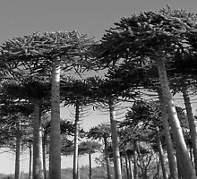 Angled Monkey Puzzle Trees by sarnia2