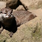 otter on the rock by brett watson