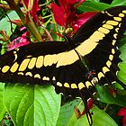 Big Black and Yellow Butterfly by Arthur von Seckendorff