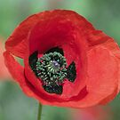 poppy by markbailey74