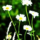 White Daisies in the Sunshine by MaggieO