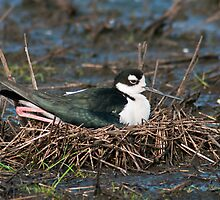 Black-Necked Stilt on Nest by Michael Mill