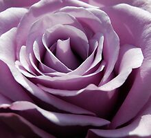 Purple Rose by sweet1d6