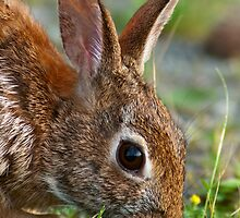 Eastern Cottontail Rabbit by Michael Mill