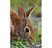 Eastern Cottontail Rabbit Photographic Print