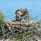Nest day 63 and two chicks by Carl LaCasse