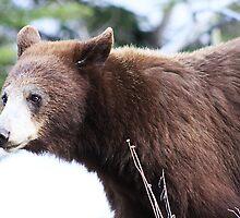 Female Bear by Alyce Taylor