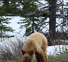Blonde Cub Grazing by Alyce Taylor