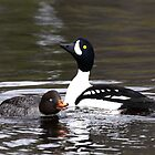 Barrow`s Goldeneye pair by Marty Samis