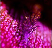 Iris Mysterio by Chet  King