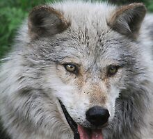 Gray Wolf by Alyce Taylor