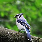 Blue Jay by Alyce Taylor