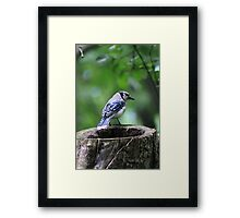 Stumped Bluejay Framed Print