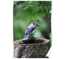 Stumped Bluejay Poster