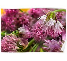 Chives Blooms - From Roof Garden To My Cucina Poster