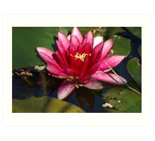 Waterlily pink, red Art Print