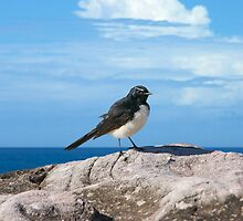 Willy Wagtail by Antoine de Paauw
