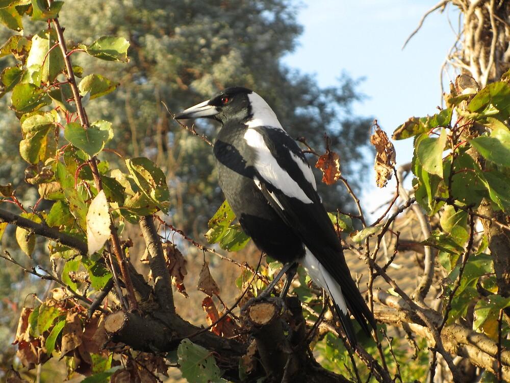 Australian Magpie - Male by shortshooter-Al