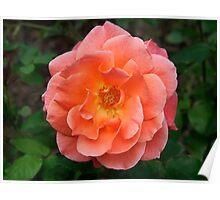 Peachy Rose Poster