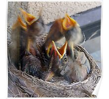 Baby Robins 6 Poster