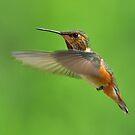 Rufous Hummingbird by Carl Olsen