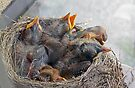 Baby Robins 9 by Debbie Pinard