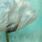 white poppy by Iris Lehnhardt