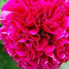 Fuchsia Pink Peony by Geraldine Miller