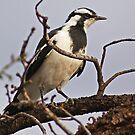 Mudlark or Peewee, Kalgoorlie West Australia by robynart