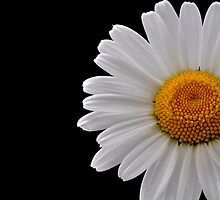 Daisy by picturegallery