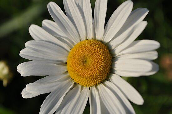 Daisy by Fury Iowa-Jones