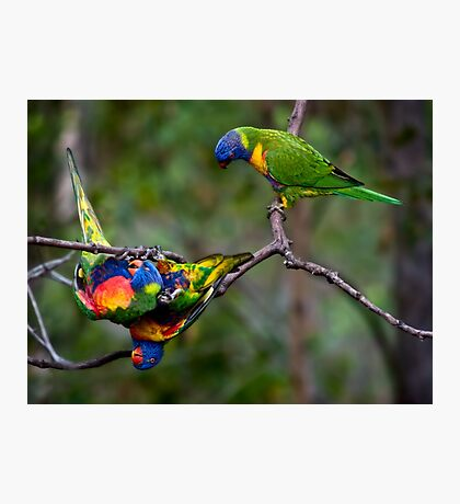 Lorikeets at play Photographic Print