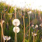 dandelion clocks by Darren Kearney