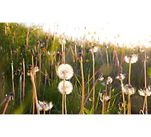 dandelion clocks Photographic Print