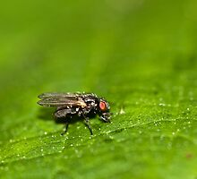 Small Fly by Michael Upshon