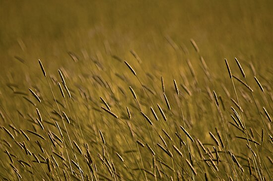Rye Grass by Nick Boren