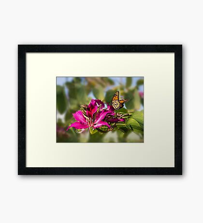 First monarch of 2015! Framed Print