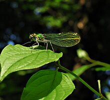 Green wings by Marina Herceg
