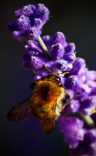 bee on lavender by Darren Burroughs