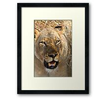 Lioness At Rest Framed Print