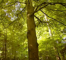 Large Beech in Beacon Cross Woods by Mike  Waldron