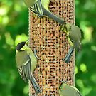 greenfinches going nuts by Steve