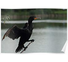 Double-crested Cormorant  #1   Poster